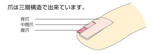 爪は3層構造で出来ている?